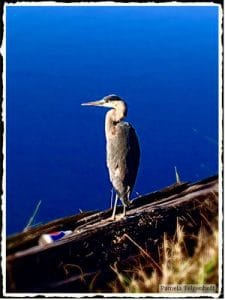 Telgenhoff Cheadle Lake heron