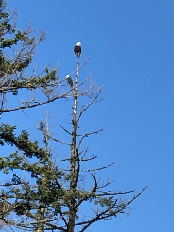 Bald eagles at Cheadle Lake 1