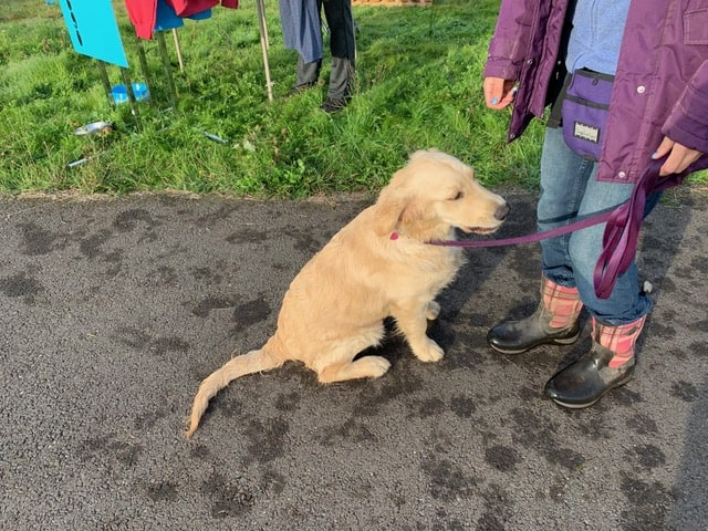 Yellow lab at event